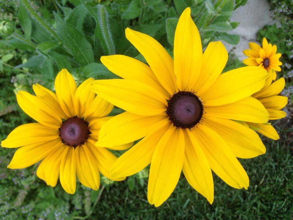 yellow black-eyed Susans