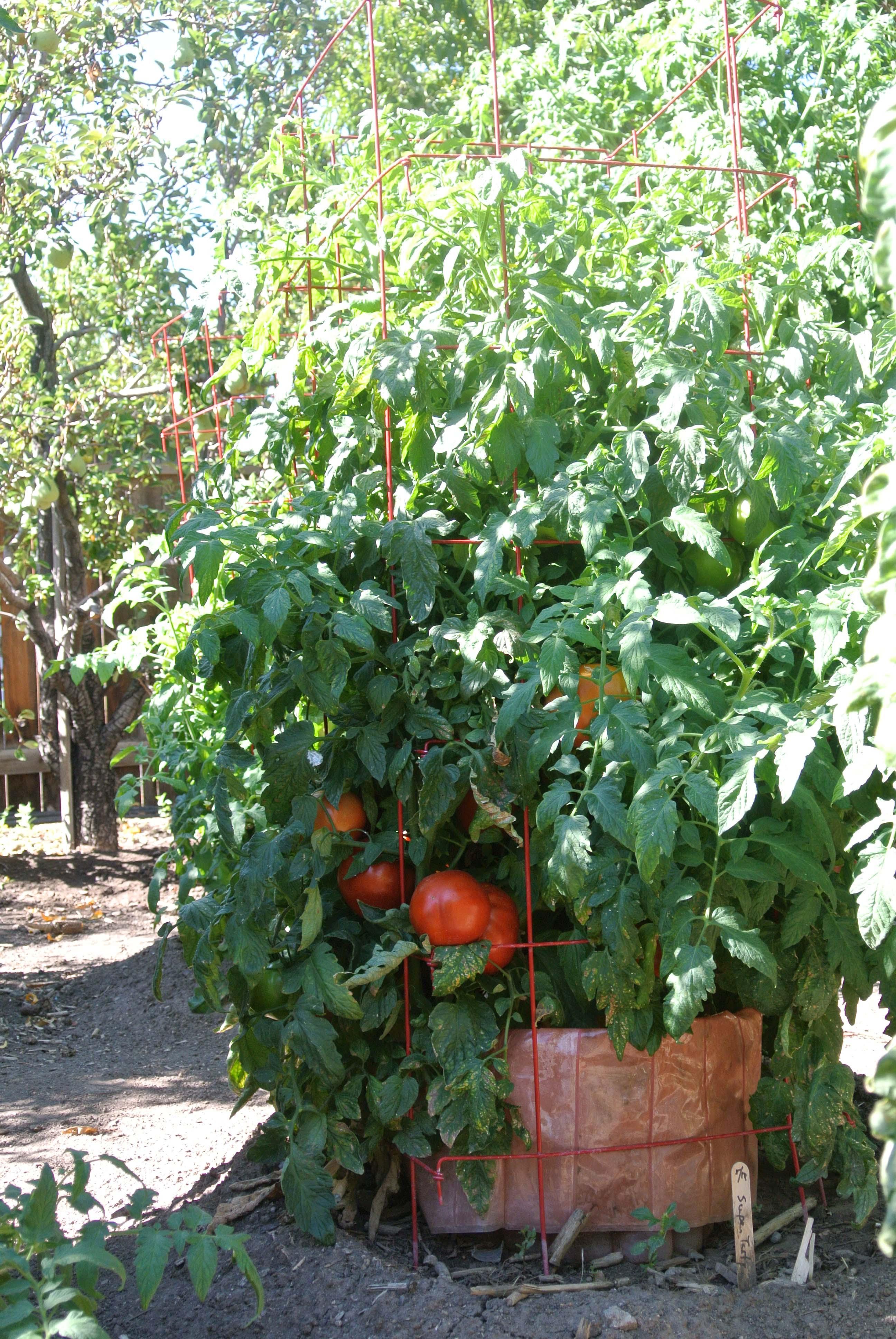 Selecting Tomatoes