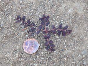 spotted spurge seedling