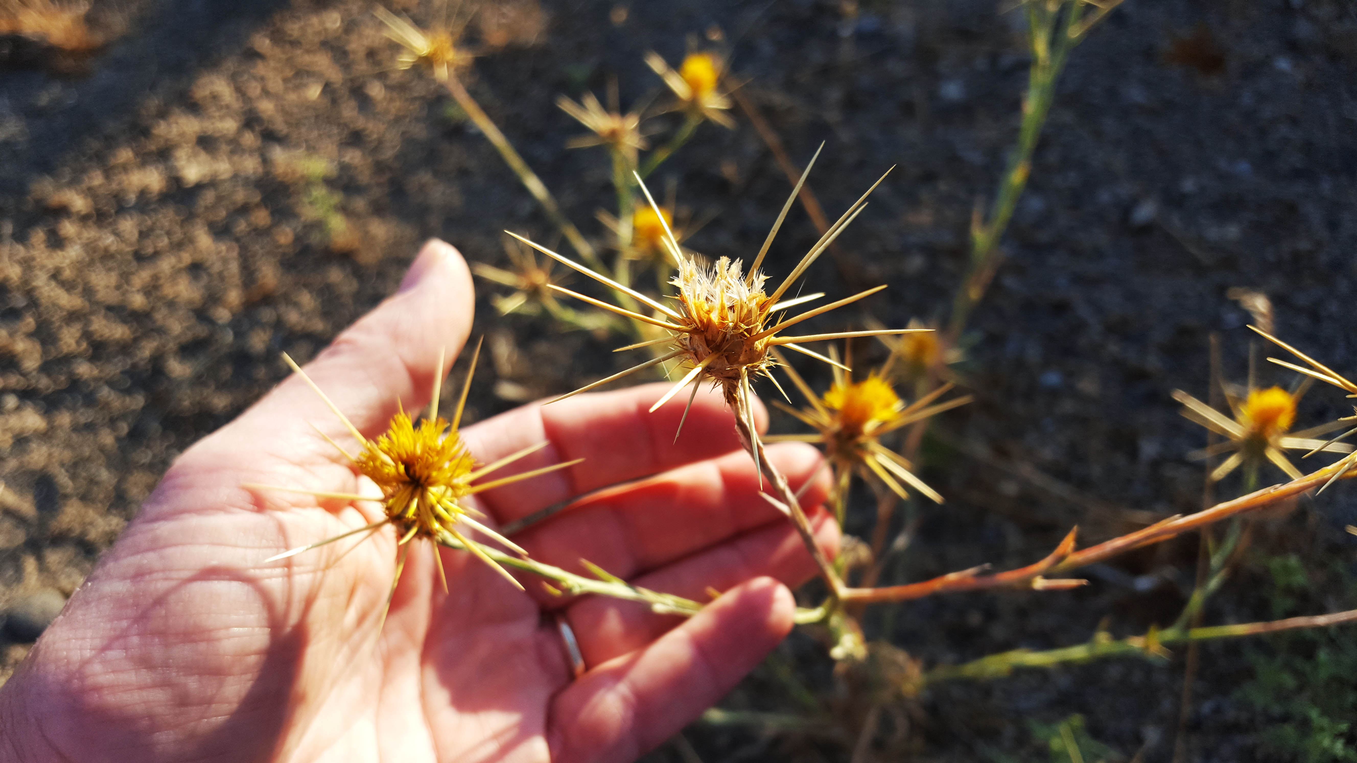 Yellow Starthistle, a Noxious Weed You Need to Control