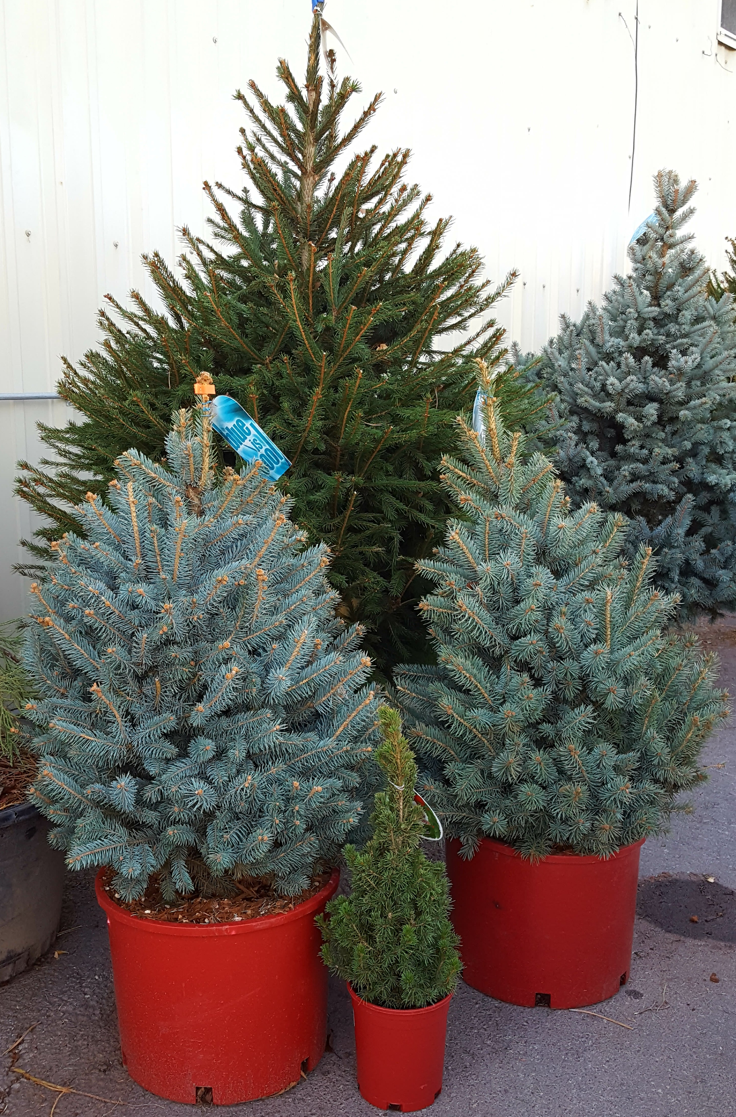 What kind of Christmas tree do I want? – Northern Nevada ...