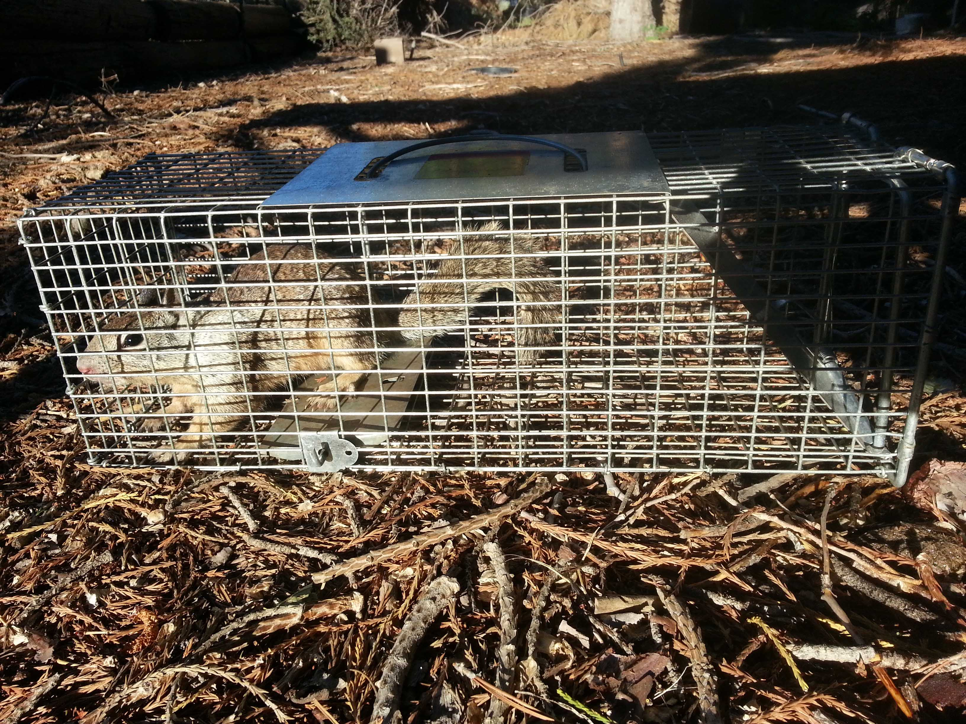 Got ground squirrels? Here are ways to get rid of them