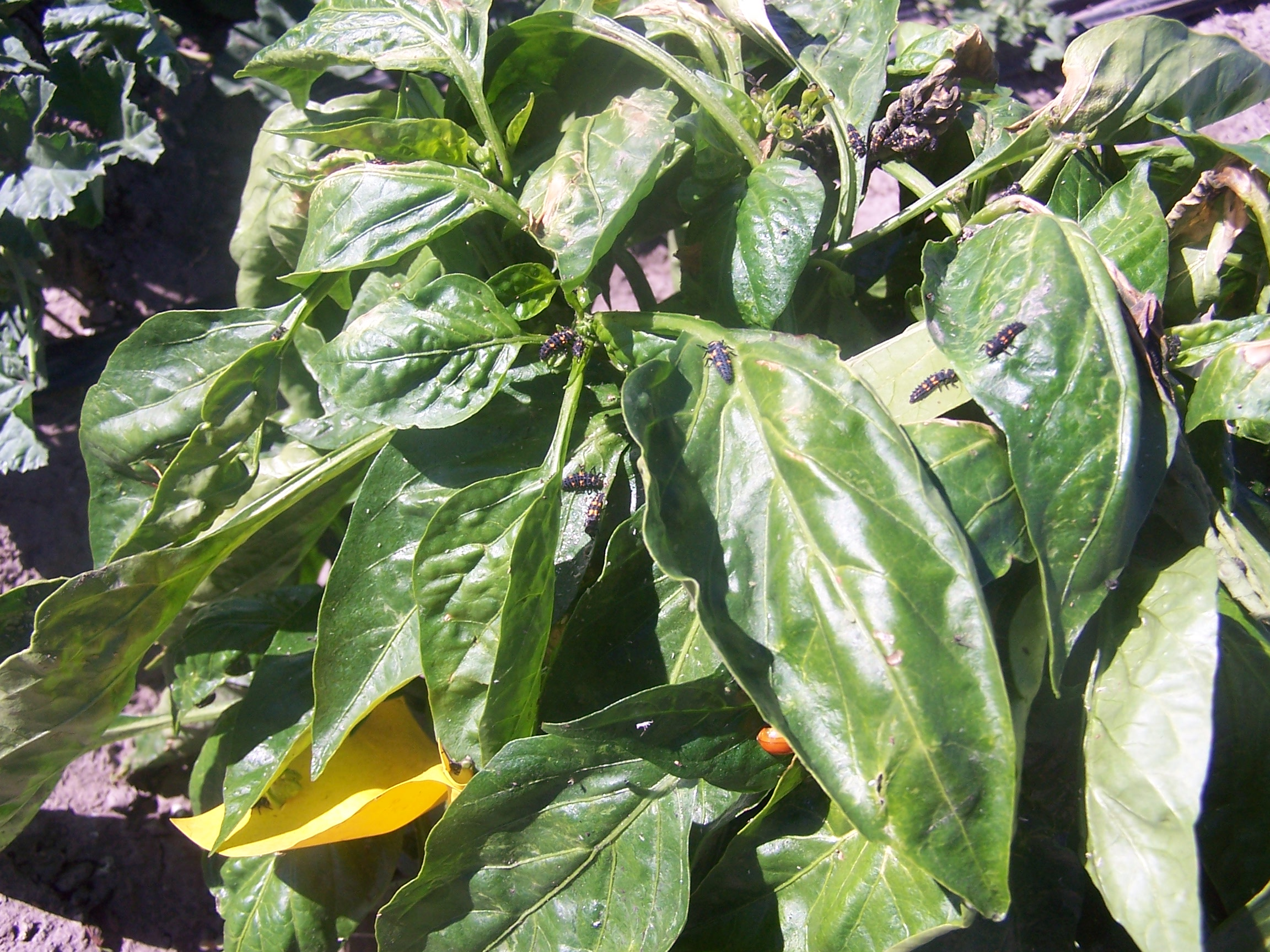 Beneficial insects in the vegetable garden: your free workforce