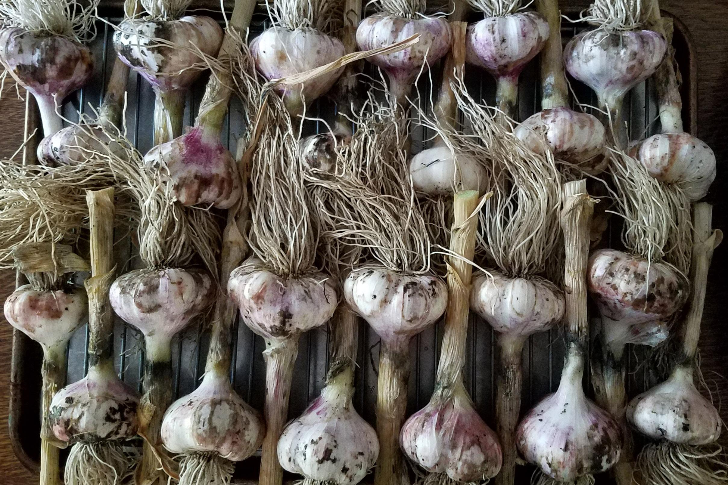 Growing garlic for beginners