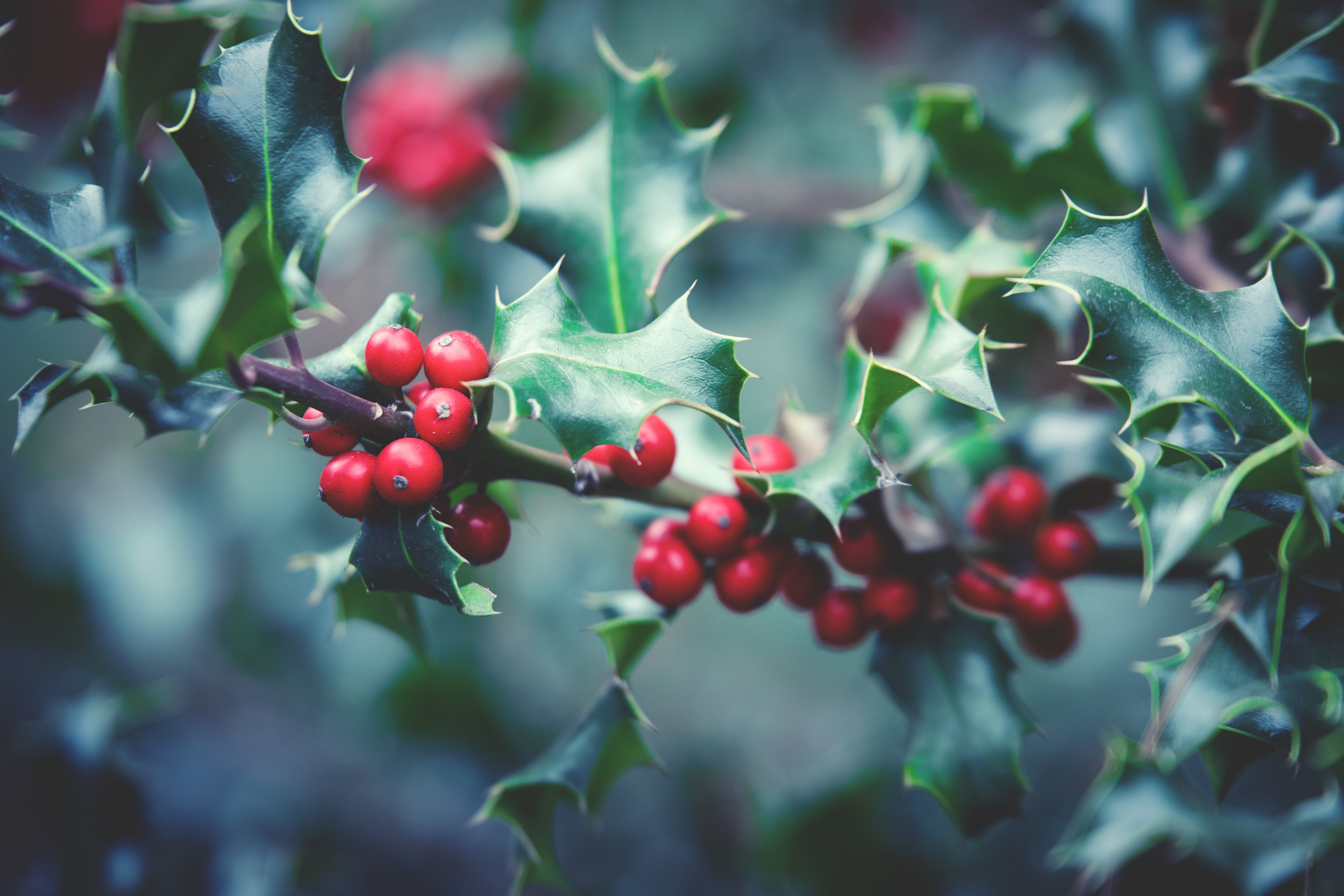 Mistletoe and holly legends and traditions